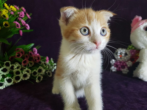 Продам котёнка шотландские вислоуки Кызылорда