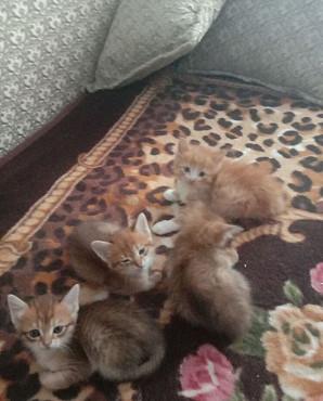 Милые котята, приносящие удачу Кызылорда