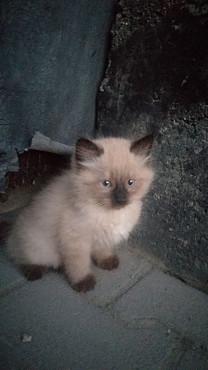 Продам британских котят Талдыкорган