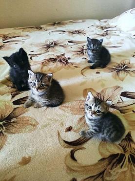 Шотландские котята Семей