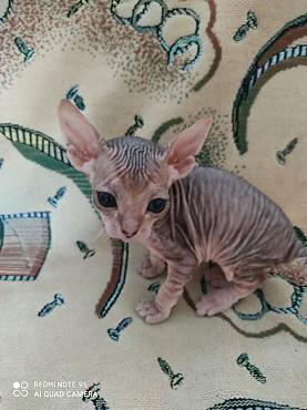 Продам котят породы донской сфинкс Заречное