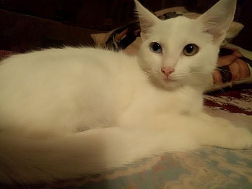 Котенок белый, девочка . Мама ангора. Глаза разного цвета. Семей