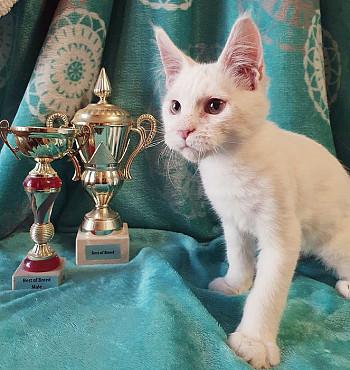 Котята Мейн кун для Вас из проф.питомника! Талдыкорган