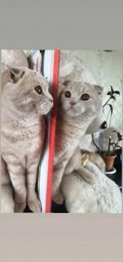Вязка, кот Веслоухий Шотландец, ищет кошечку для вязки. Экибастуз