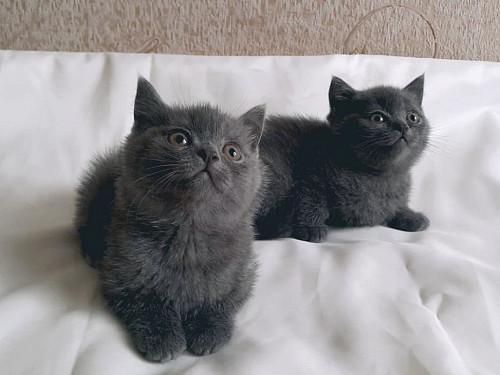 Шотландские котята (Cкоттиш-фолд) Шымкент