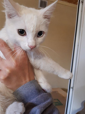 Котенок девочка Снежана Темиртау