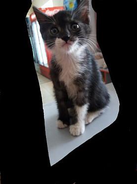 Котнок чёрный серый Кызылорда