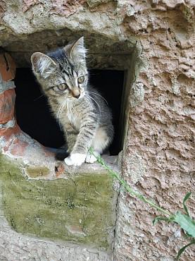 Котёнок серый Рудный