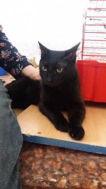Обаятельный черный кот Павлодар