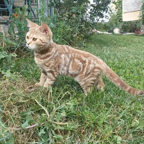 Отдам котят от британской прямоухой Алматы