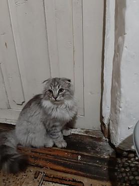 Отдам кота в хорошие руки, вислоухий, к лотку приучен Алматы