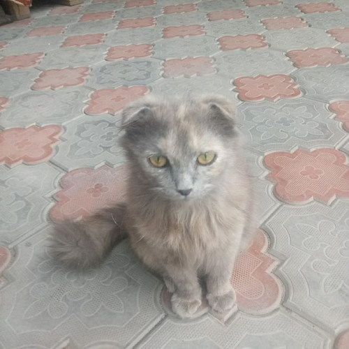 Вислоухий котенок девочка даром Алматы