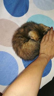 Котенок, девочка 1.5 месяца Алматы