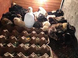 Цыплята белоголовый адлер пушкинские кахетинка брама Алматы
