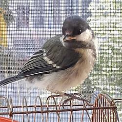 Птица синица Семей