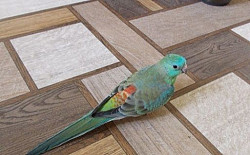 Пара певчих попугаев Семей