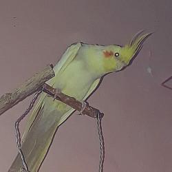 Продам попугая корелла Талдыкорган