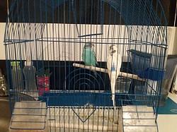 Волнистый папугай Кызылорда
