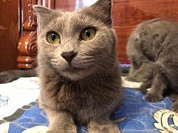 Продаю шотландско вислаухих котят Сарыкемер
