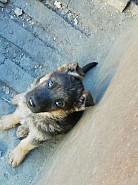 Продаются щенки немецкой овчарки Караганда