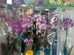 Шикарные Орхидеи (фаленопсис) Караганда