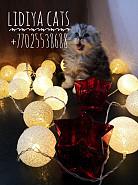 Продам шотландских котят Актобе