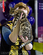 Бенгальская кошка Алматы
