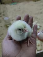 Продам цыплят бройлера. Цыплята Бройлерные Арбор Айкрес, Кобб 500. Суточные. Алматы