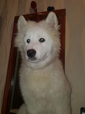 Самоедская собака Алматы