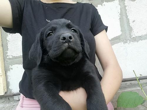 Чёрные щенки лабрадора Алматы