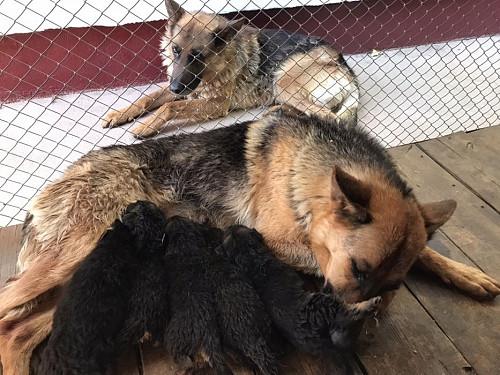 Продам щенков немецкой овчарки Актобе