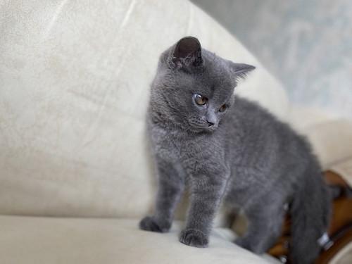 Продам котенка ( британец) девочка Кокшетау