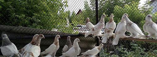 Продам голубей Талдыкорган