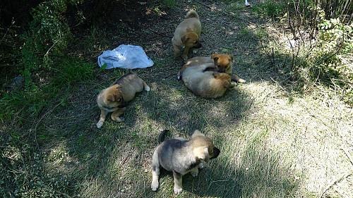 Дарю щенков дворняжки (все девочки) Караганда