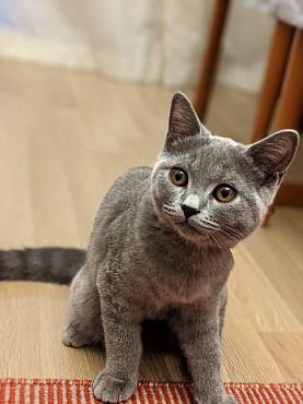 Срочно! Продам 4х мес Британского котёнка за 60000 тенге. Алматы