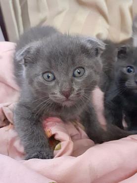 Вислоухий котенок (мальчик) 1.5 месяца Талдыкорган
