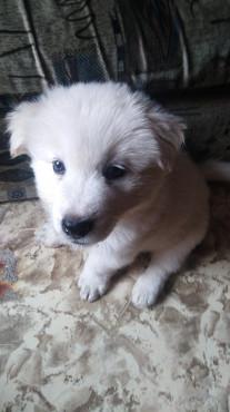 Продается щенок самоеда Караганда