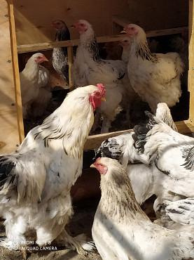 Куры, цыплята Алматы