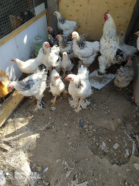 Куры цыплята Алматы