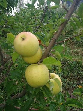 Яблоки (золотой превосходный, айдаред) Алматы