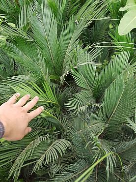 Палма - саговая палма Шымкент