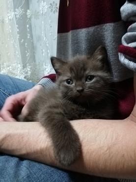 Чистокровный шотландский шоколадный котенок с документами Алматы