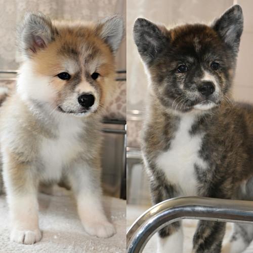 Продам щенков породы японская Акита-ину. Алматы