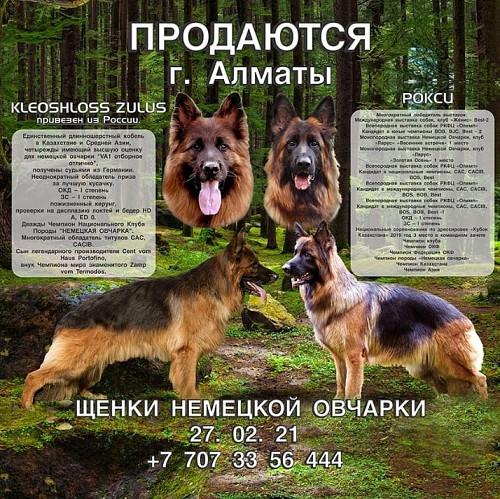 Щенки Немецкой Овчарки Алматы