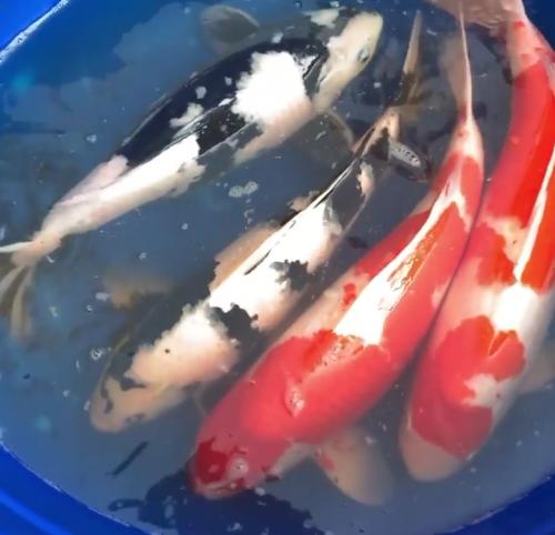 Карп коя, прудовая рыба Алматы