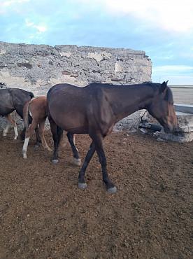 Лошади Жаксы