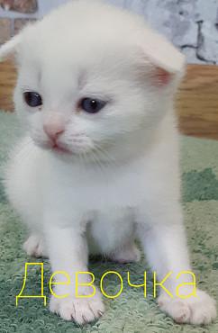 Шотландские котята. Павлодар