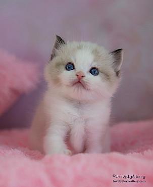 Великолепные котята породы Рэгдолл Алматы