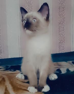 Котята Шемонаиха