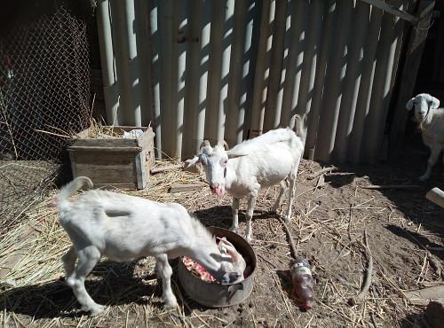 заненские козы Кызылорда